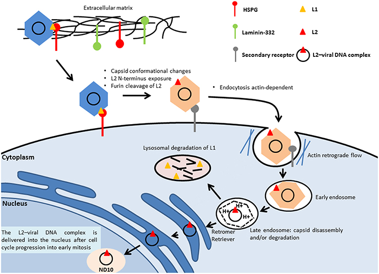 papillomavirus infection mechanism)