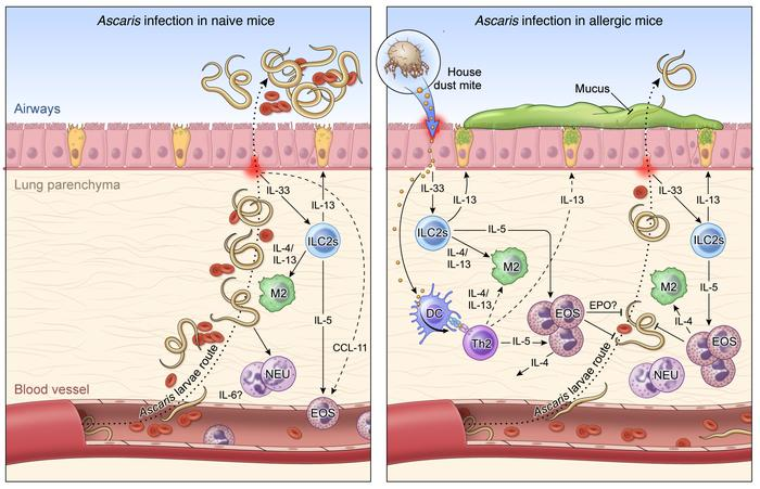 eosinophils helminth infection)