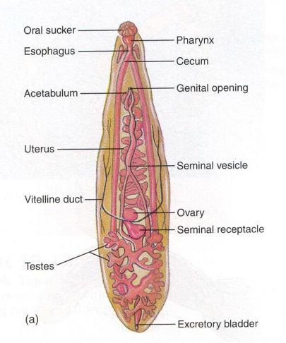platyhelminthes clase trematoda)