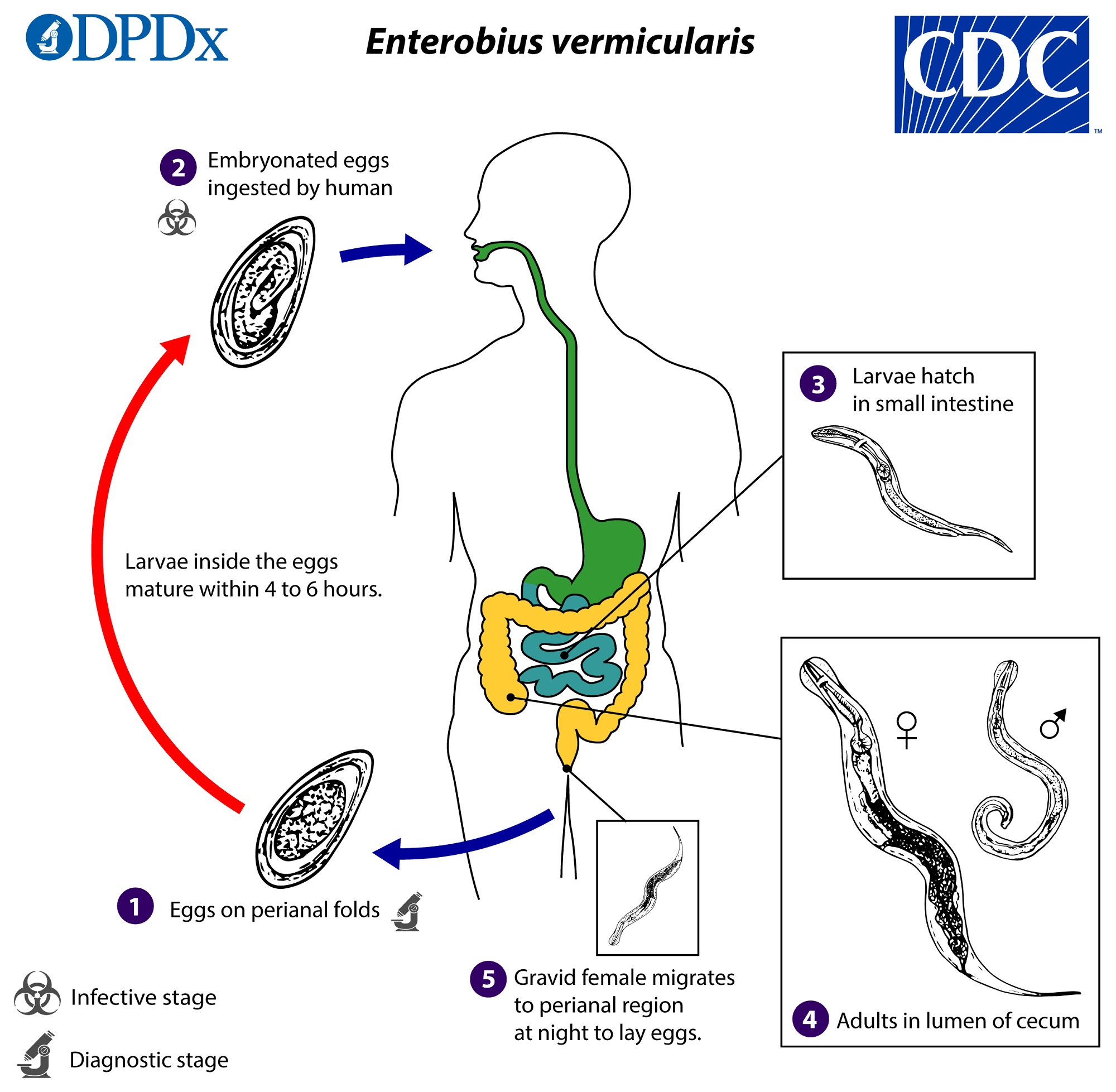 enterobius vermicularis( the pinworm) is shingles and hpv virus