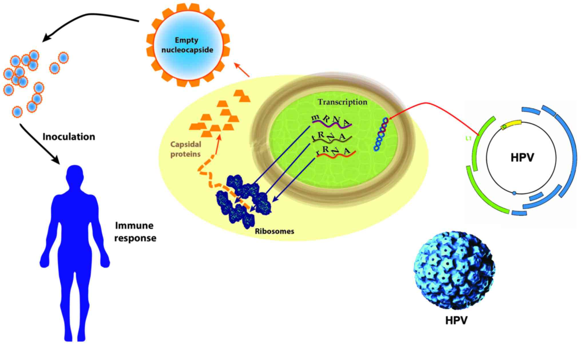 hpv virus and squamous cell cancer)