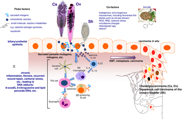 Helminth infection macrophage