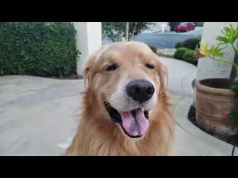 Benign cancer in golden retrievers