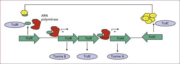 toxine de clostridium difficile