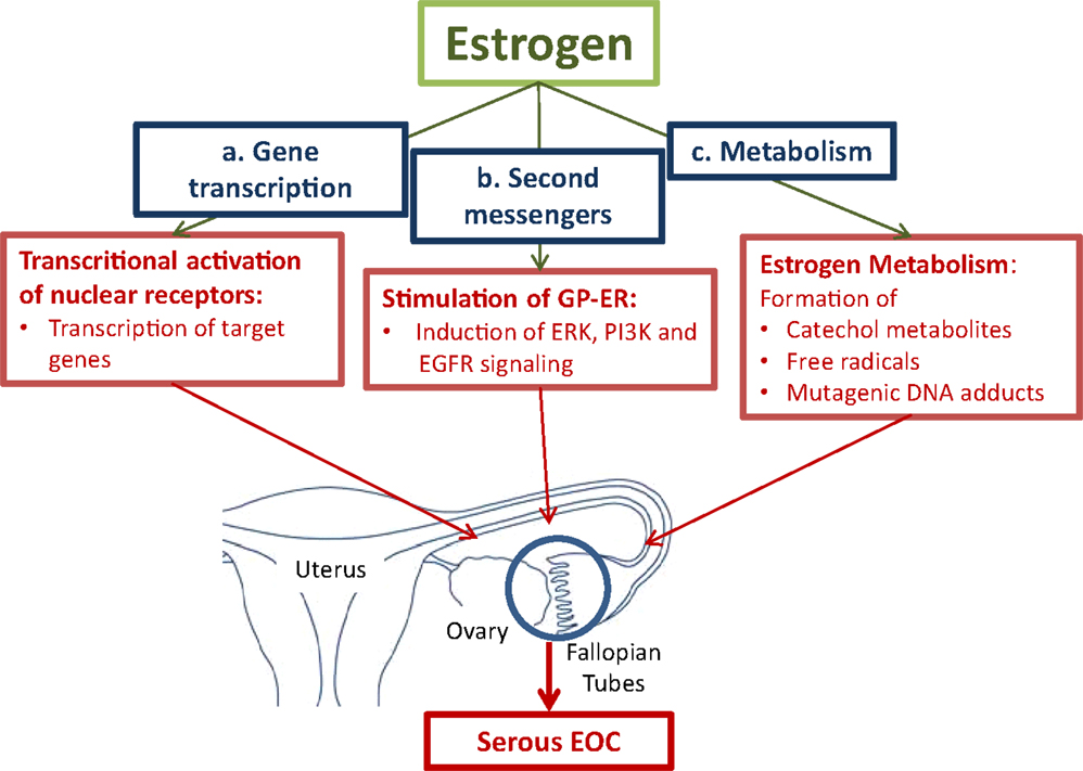 endometrial cancer estrogen)