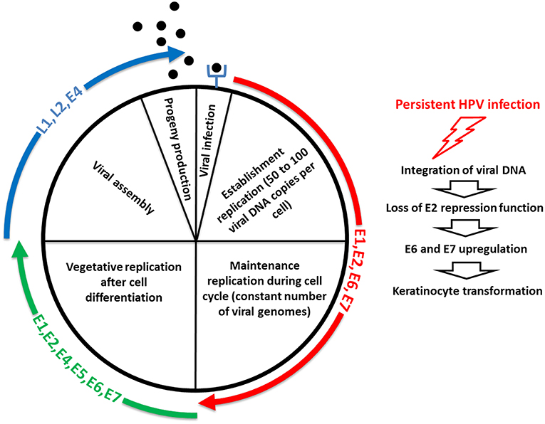 hpv virus review)