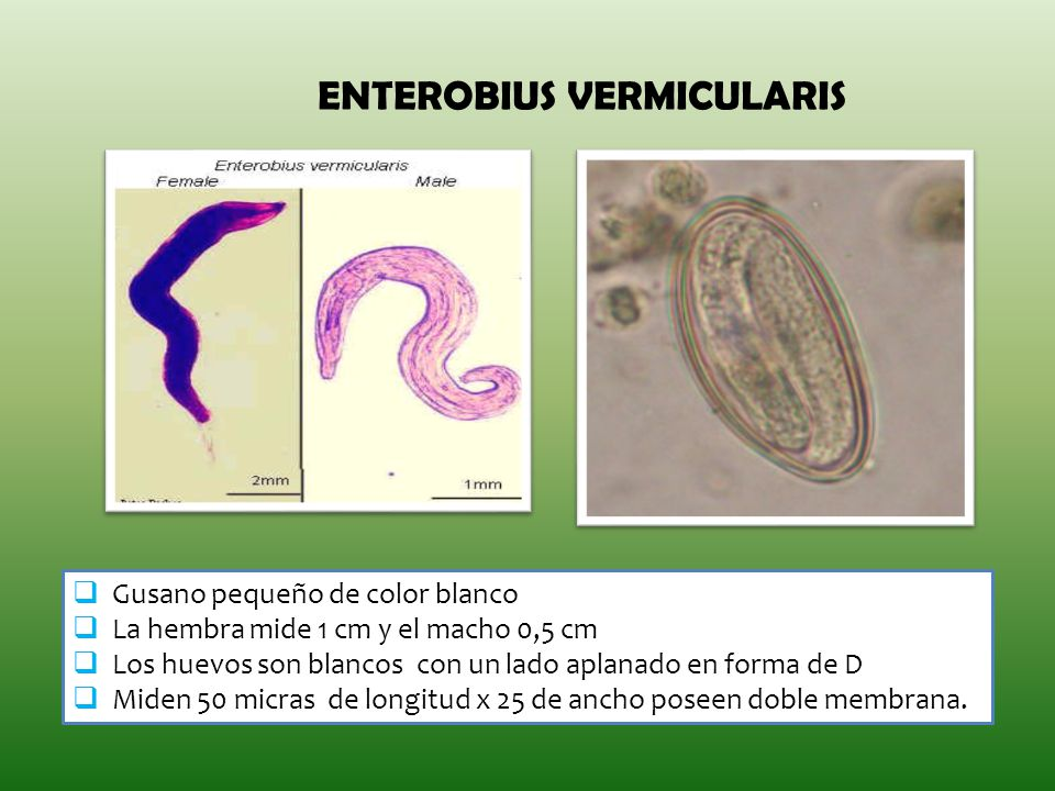 enterobius vermicularis estadios