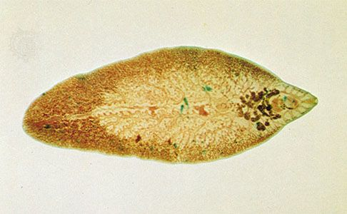 platyhelminthes fluhe hepatic