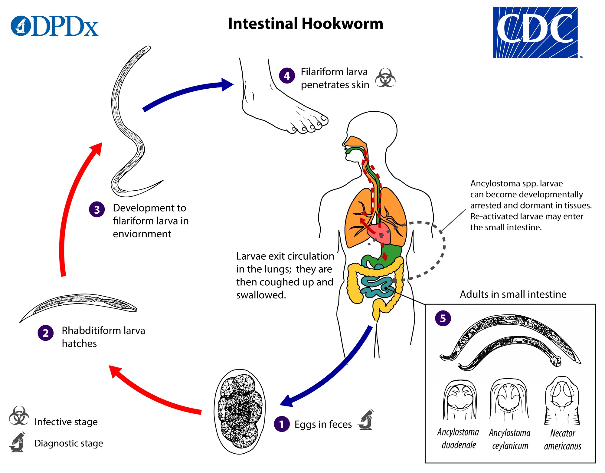 enterobius vermicularis life cycle cdc)