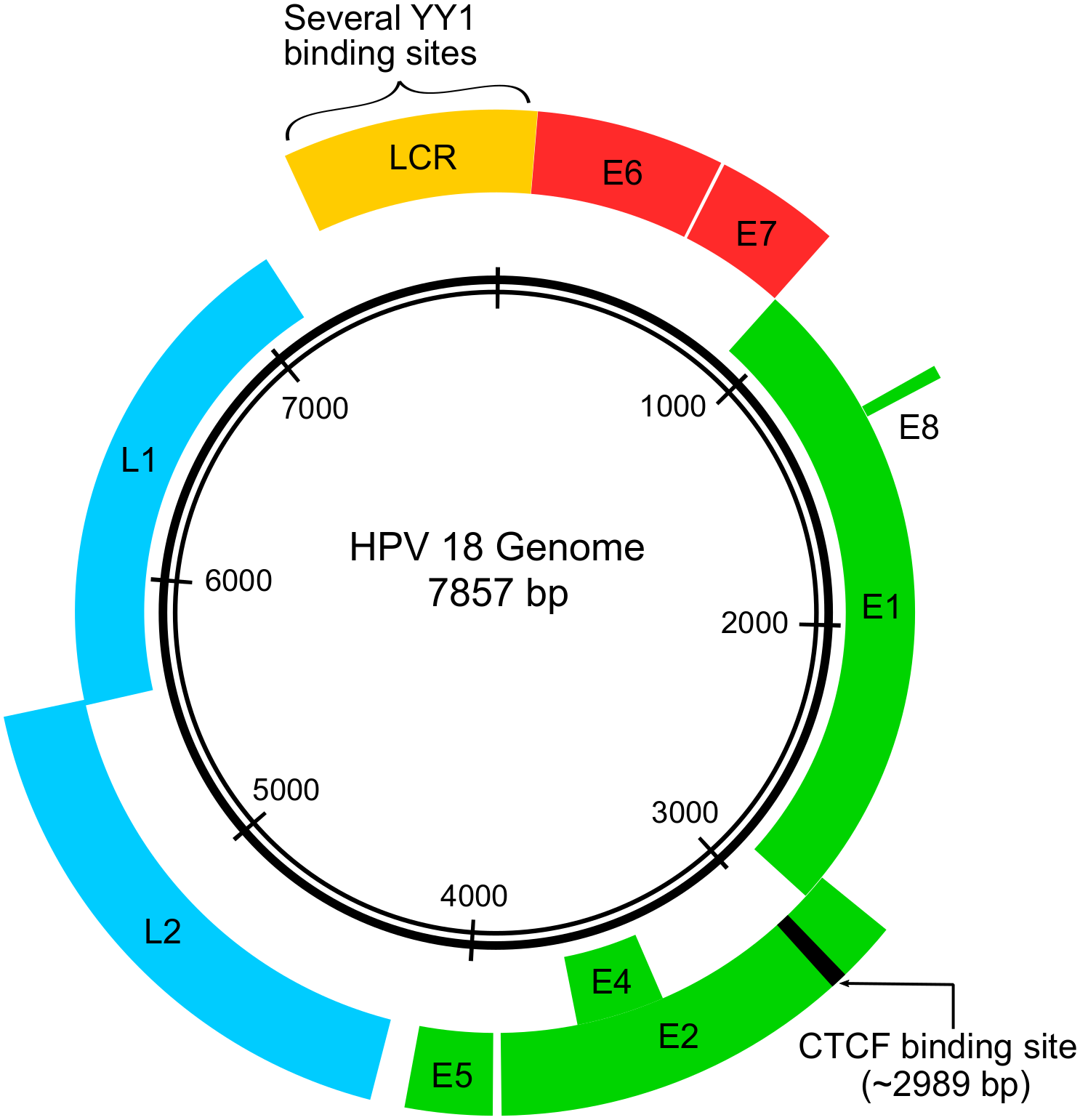 papillomavirus human genomes)