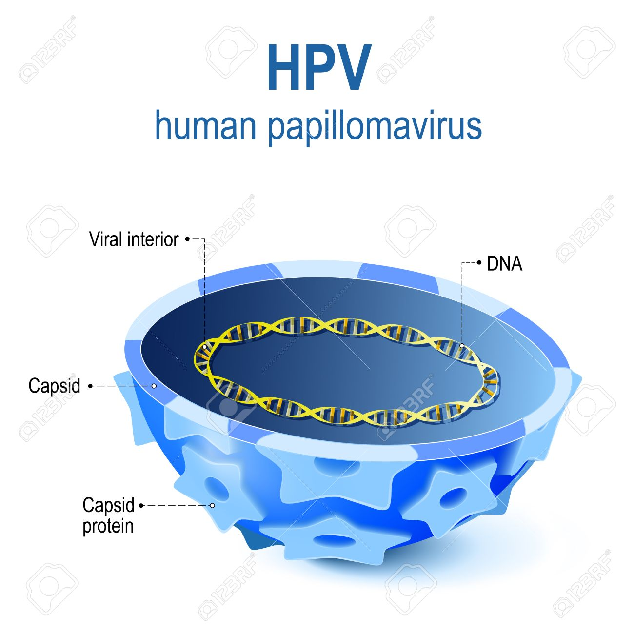 hpv virus diagram