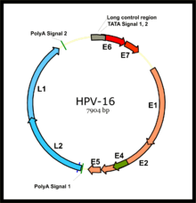 human papillomavirus infection mechanism of action