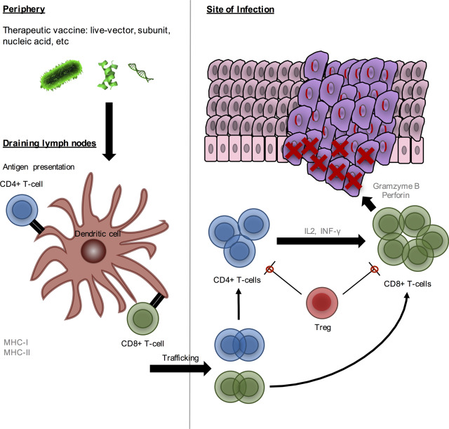 human papillomavirus infection mechanism of action)