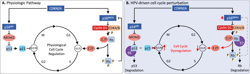 How does hpv cause cancer mechanism - (PDF) Vaginal cancers and human papilloma virus