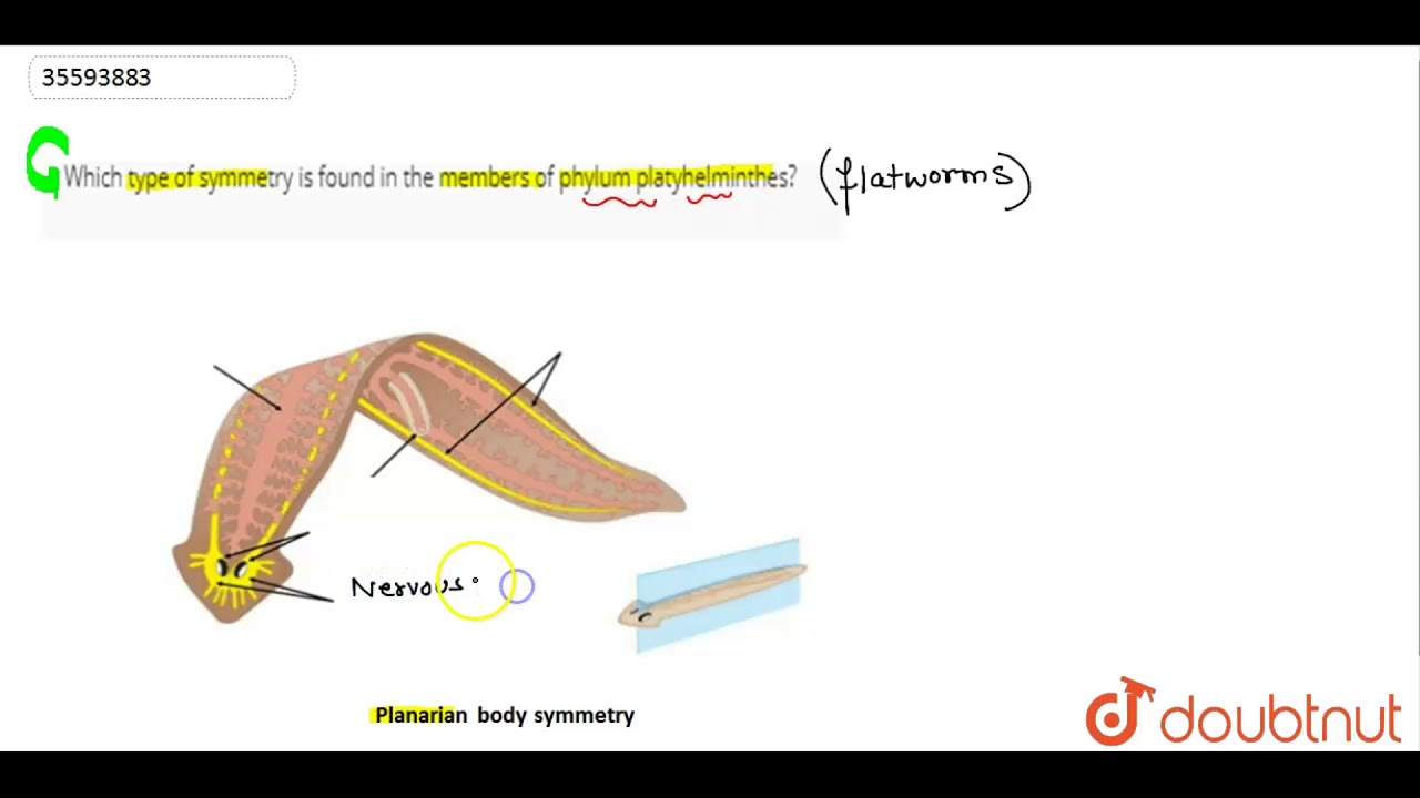 sistem nervos plan platyhelminthes)