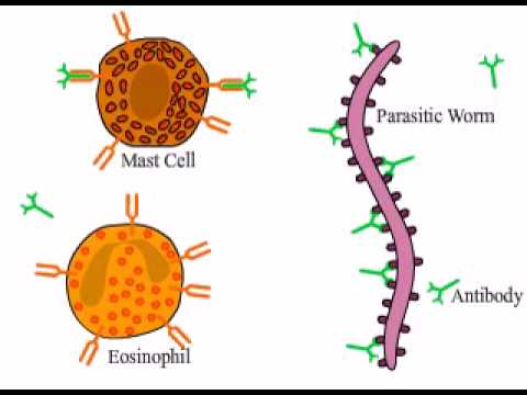 eosinophils helminth infection