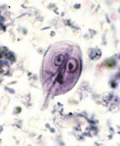 giardia gatto leac natural)