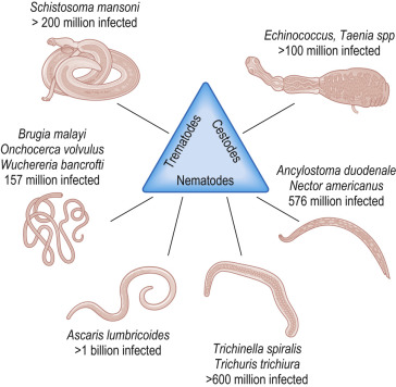 helminth host immune system