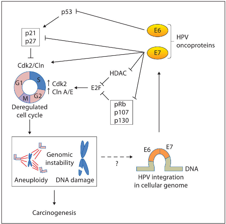 How does hpv cause cancer mechanism - parohiaorsova.ro