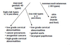 Hpv high risk cdc, Papillomavirus res
