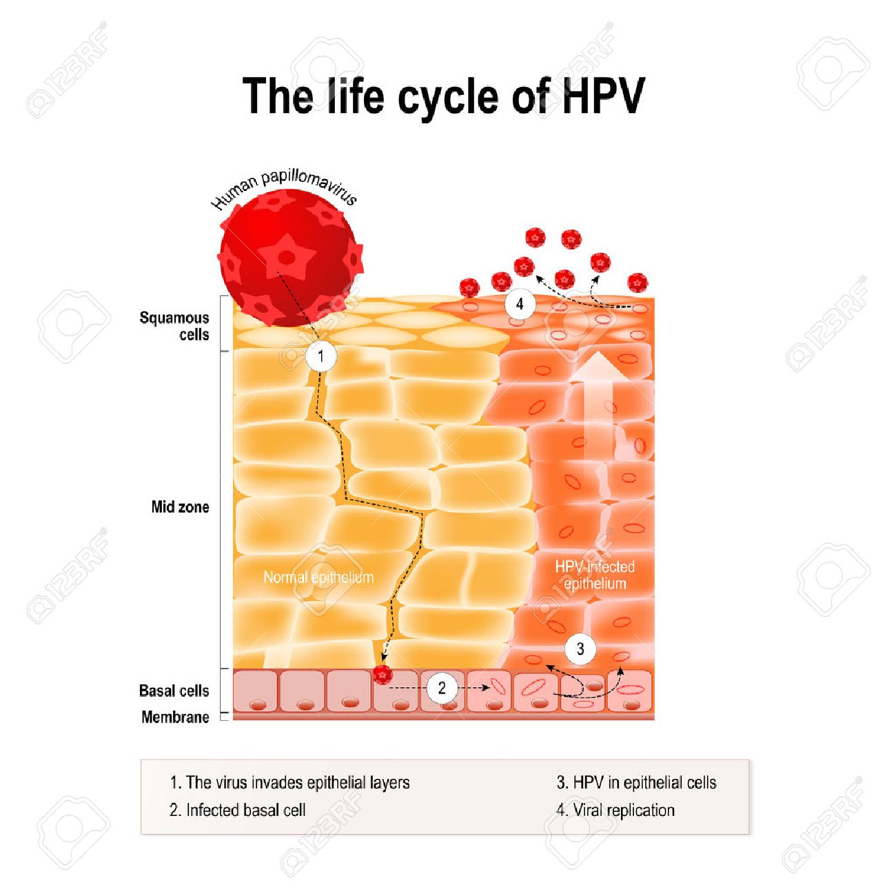 life cycle of human papillomavirus