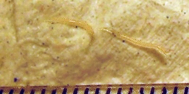 enterobius vermicularis classificacao