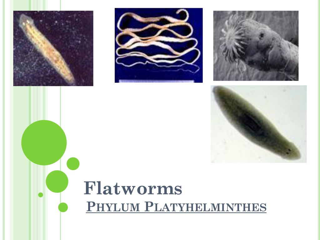 phylum platyhelminthes grafic vierme