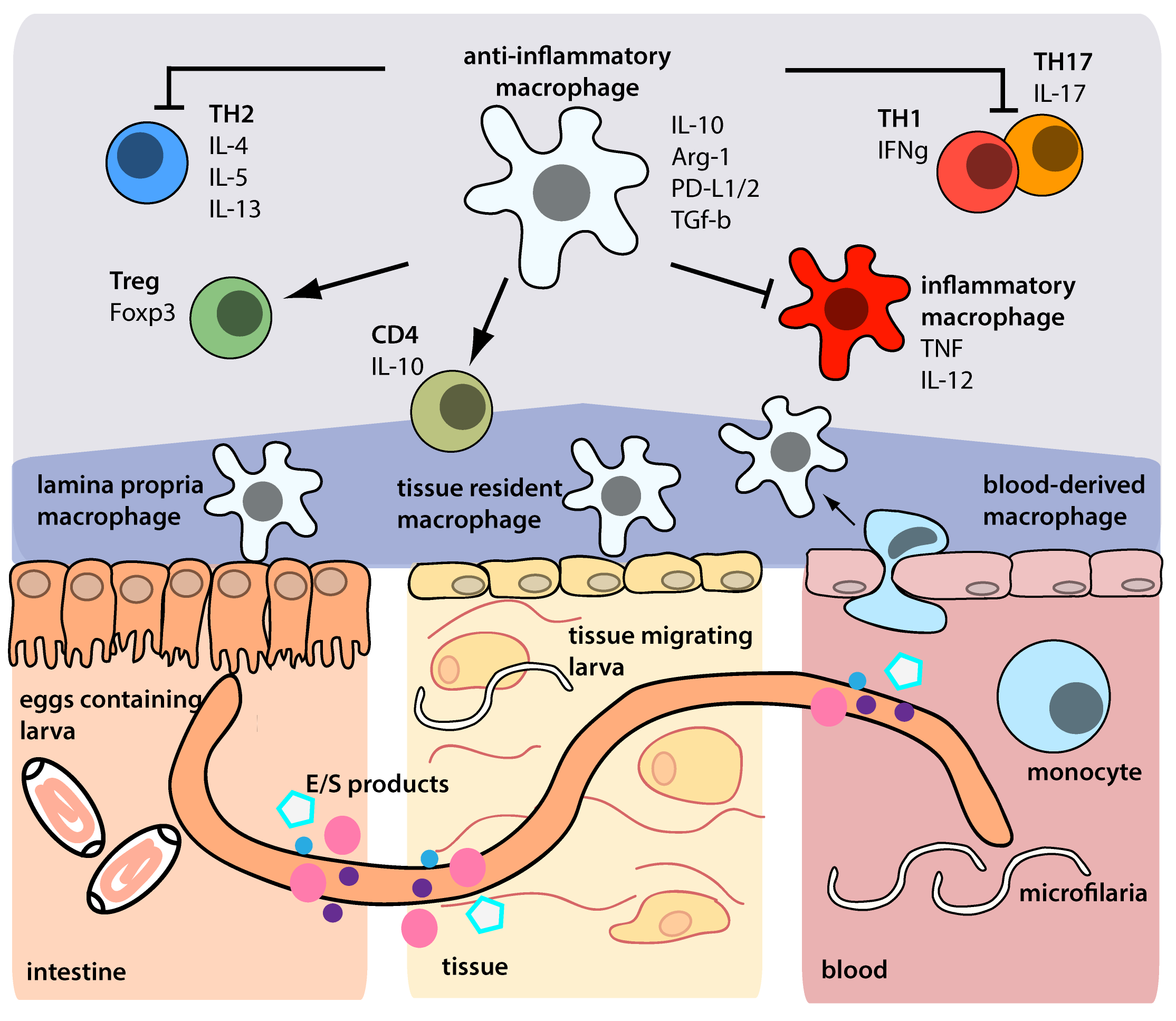 inflammatory bowel diseases helminth therapy