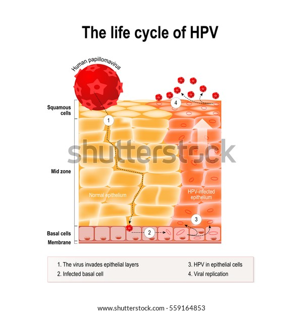 papillomavirus life cycle