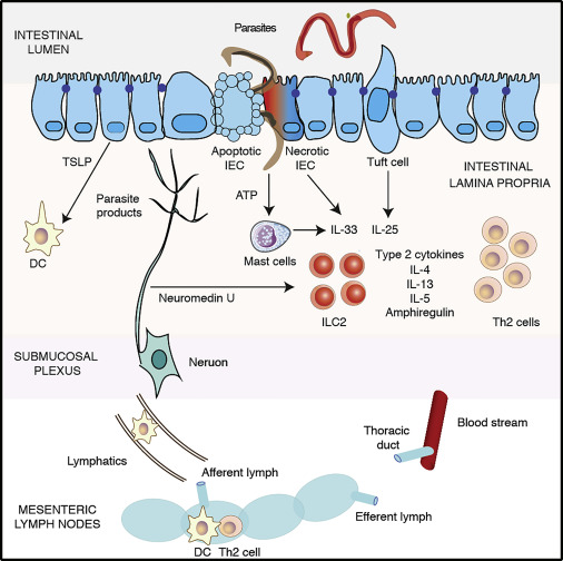 helminth infection inflammation)