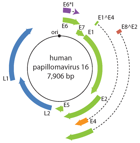 papillomavirus human genomes analize depistare paraziti
