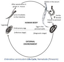 enterobius vermicularis sta je ovarian cancer cell lines