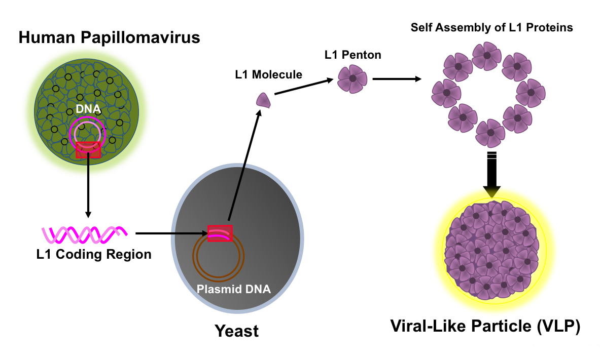 which virus or bacteria causes hpv)