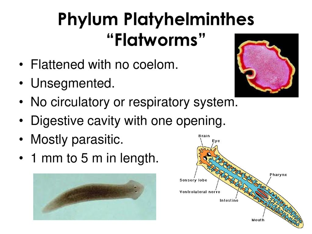 platyhelminthes tip coelom bacterie h pylori